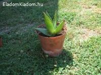 Aleovera növény eladó