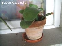 Kaktusz eladó