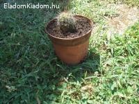 Kaktuszok eladóak